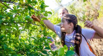Girl picking a lime in the citrus grove
